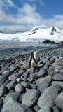 Chinstrap-Pinguin, der auf gerundete Flusssteine geht Stockbild