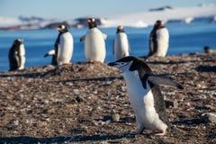 Chinstrap-Pinguin, der unter gentoos auf dem Ufer, Süd-Shet läuft Lizenzfreie Stockfotos