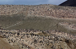 Chinstrap Pinguine Stockfotografie