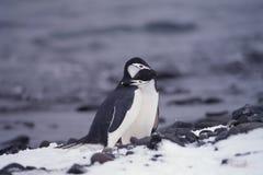 Chinstrap Pinguine in Antarktik Lizenzfreies Stockfoto