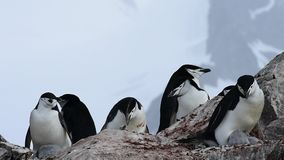Chinstrap-Pinguine auf dem Nest stock video footage