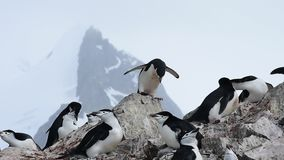 Chinstrap-Pinguine auf dem Nest stock footage