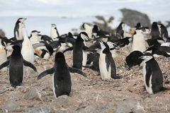 Chinstrap-Pinguinkrähenkolonie in der Antarktis Stockbild