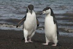 Chinstrap pingvin i Anatcrtica Royaltyfria Bilder