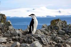 Chinstrap pingvin i Antarktis Arkivbild