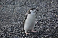 Chinstrap pingvin i Antarktis Royaltyfria Bilder