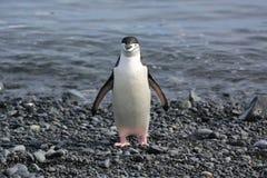 Chinstrap pingvin i Antarktis Fotografering för Bildbyråer