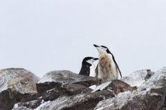 Chinstrap pingvin som parar ihop par Royaltyfri Foto
