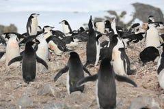 Chinstrap pingvinallsång i Antarktis Royaltyfria Bilder