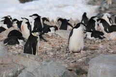 Chinstrap pingvinråkkoloni i Antarktis Arkivbilder