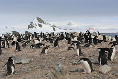 Chinstrap pingvinråkkoloni i Antarktis Royaltyfri Bild