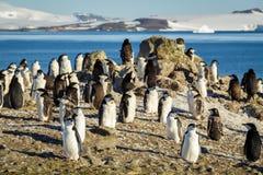 Chinstrap pingwinów kolonia Fotografia Royalty Free
