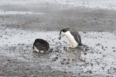 Chinstrap pingwinów zakończenia wielorybnika ` s zatoka, Antarctica Obrazy Royalty Free