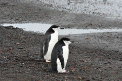 Chinstrap pingwinów zakończenia wielorybnika ` s zatoka, Antarctica Zdjęcie Stock