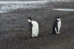 Chinstrap pingwinów zakończenia wielorybnika ` s zatoka, Antarctica Zdjęcia Stock