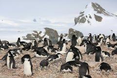 Chinstrap pingwinu rookery w Antarctica Obraz Royalty Free