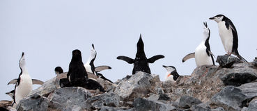 Chinstrap pingwiny Obraz Royalty Free