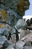 Chinstrap pingwiny na Przyrodniej księżyc wyspie, Bransfield cieśnina, Antarctica (Pygoscelis Antarctica) zdjęcia royalty free