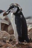 Chinstrap que muda o pingüino Chinstrap que se colocan con una piedra Fotografía de archivo libre de regalías