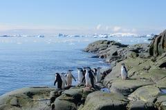 Chinstrappinguïn op het strand in Antarctica royalty-vrije stock afbeelding