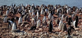 Chinstrip penguin breeding colony, Antarctica Royalty Free Stock Images
