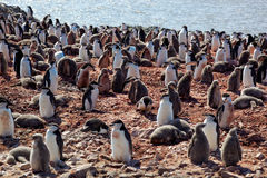 Chinstrip penguin breeding colony, Antarctica Stock Photography