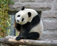 Chiny Panda przy Pekin zoo Zdjęcia Stock