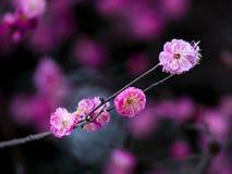 Chiny piękna śliwka Zdjęcie Stock