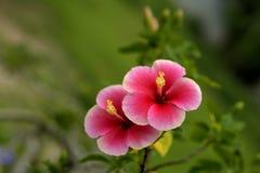 Chiny rose5_4 Zdjęcie Royalty Free