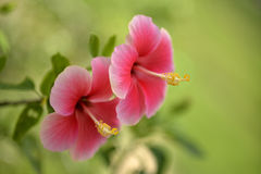 Chiny rose5_12 Zdjęcia Royalty Free