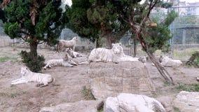 Chiny, Szanghaj safari park, biali tygrysy, krajobraz, Listopad 2013 Fotografia Royalty Free