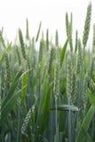 Chioda il grano Immagini Stock