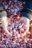 Chiodi di garofano di aglio in mani a coppa con la cassa di aglio nel fondo Fotografia Stock Libera da Diritti