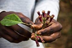Chiodi di garofano freschi Immagine Stock Libera da Diritti