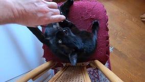 Chiodi di taglio del gatto nero archivi video