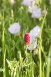 Chiodo di garofano rosso nel verticale di primavera Immagine Stock