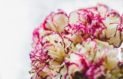 Chiodo di garofano su un fondo bianco Fotografia Stock