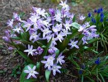 Chionodoxa,普通的星,荣耀这雪春天花在庭院里 库存照片