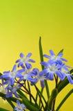 Chionodoxa Royaltyfria Bilder