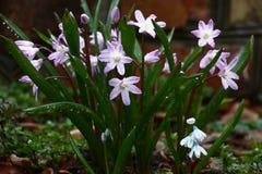 Chionodoxa après une pluie Image stock