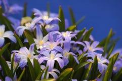 Chionodoxa azul Imagenes de archivo