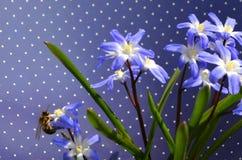 CHIONODOXA and bee. CHIONODOXA blue primroses and bee Royalty Free Stock Image