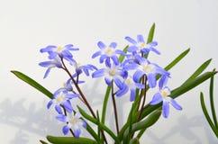 CHIONODOXA and bee. CHIONODOXA blue primroses and bee Stock Image