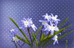 CHIONODOXA and bee. CHIONODOXA blue primroses and bee Stock Photos