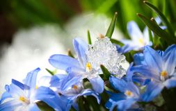 Chionodoxa. Blue flower Chionodoxa  also known as glory-of-the-snow covered with snow after snowfall in the spring Royalty Free Stock Photo