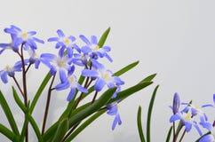 CHIONODOXA. Blue primroses and bee Royalty Free Stock Photography
