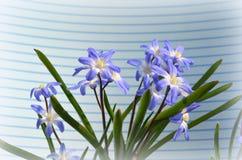 CHIONODOXA. Blue primroses and bee Royalty Free Stock Photos