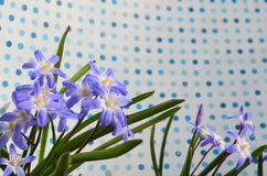 CHIONODOXA. Blue primroses and bee Royalty Free Stock Images