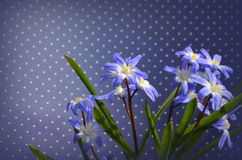 CHIONODOXA. Blue primroses and bee Stock Photos