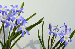 CHIONODOXA Royalty Free Stock Images